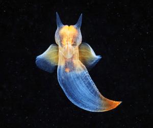 seaangel